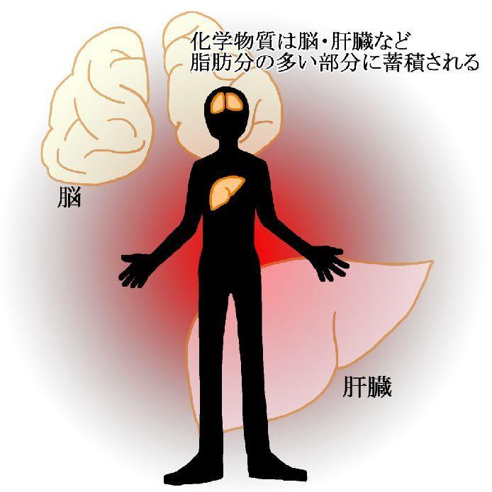 化学物質は脳や肝臓など脂肪分の多い部分に蓄積される