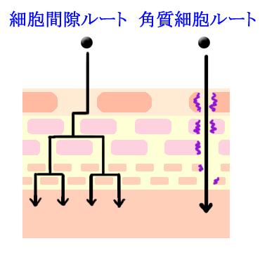 経皮吸収 細胞間隙ルート 角質細胞ルート