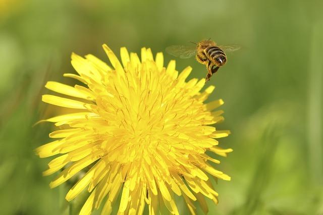たんぽぽ 蜂