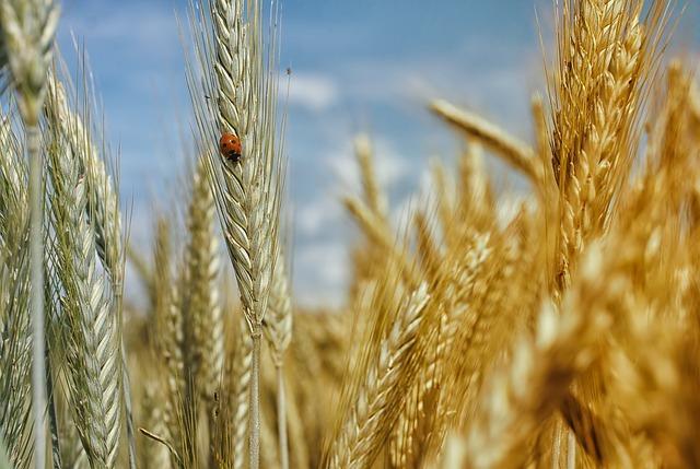 麦とてんとう虫