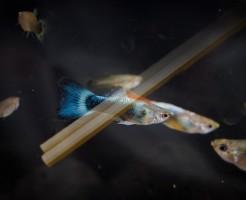 割箸 熱帯魚