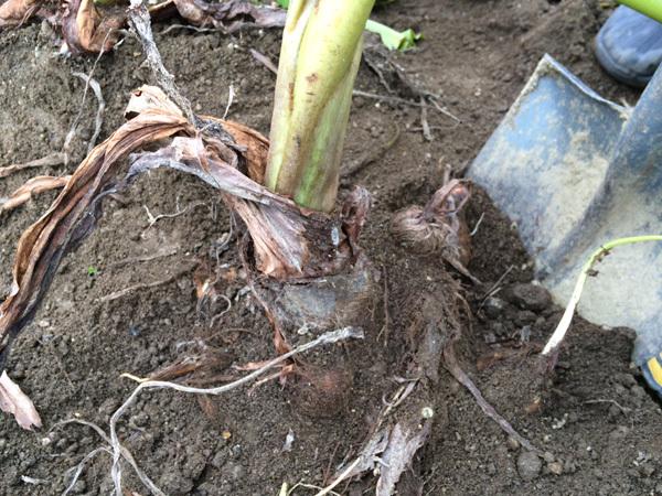 里芋掘り体験