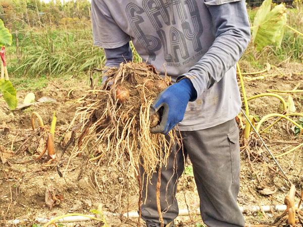 里芋掘り体験 2