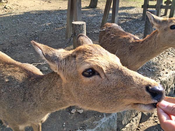 奈良、東大寺の鹿