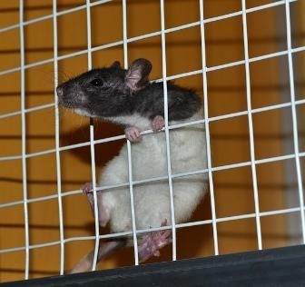 ネズミ ラット