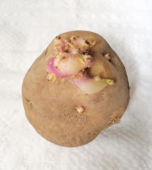 ジャガイモの出荷前の加工とは?芽止めのための放射線