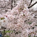 お花見 ソメイヨシノ (1)