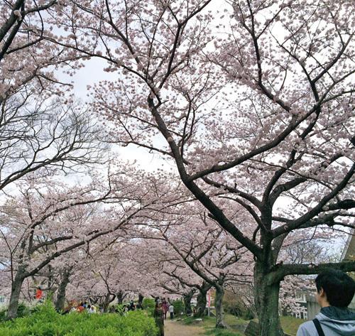 お花見 ソメイヨシノ (2)