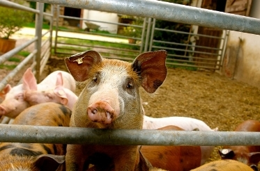 檻の中の豚